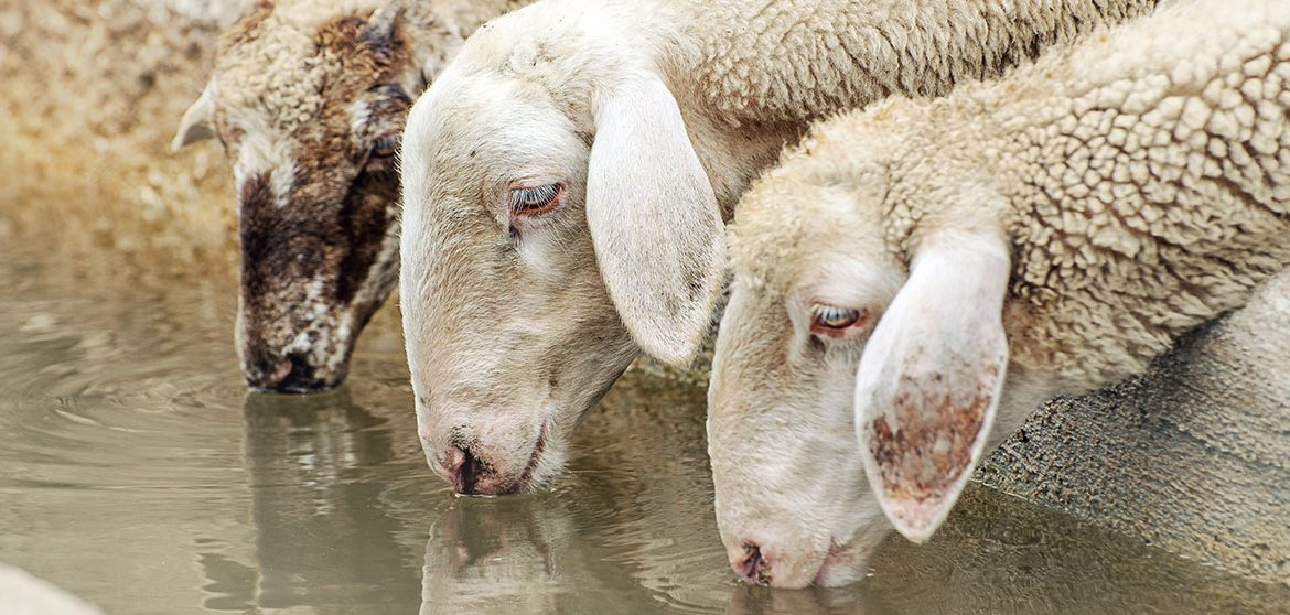 Sheep drinking from water trough